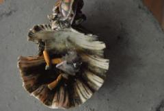 Used sea shell ashtray